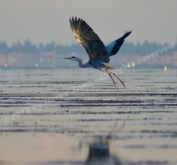 Airone in volo sulla laguna