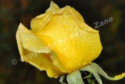 rain dropsfalling on my buddy rose