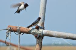 Rondini fra le reti da pesca (07/2021)